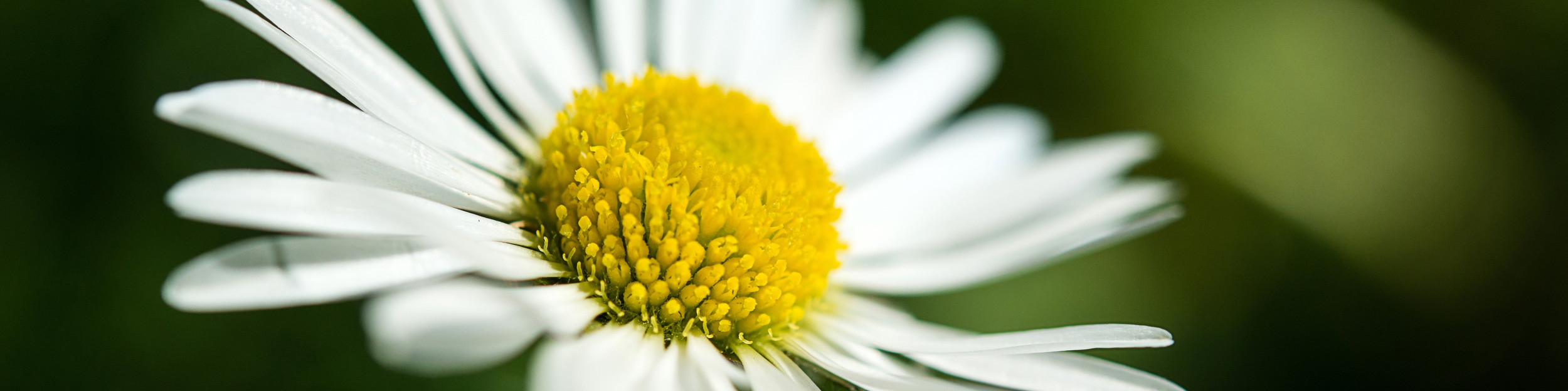 flower, yellow, white, background, daisy, camomile, floral, flora, plant, garden, petal, infusion Gaensebluemchen_dunkel.jpg